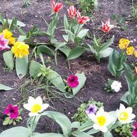 Надо ли выкапывать тюльпаны ежегодно или можно оставлять до 3 лет?