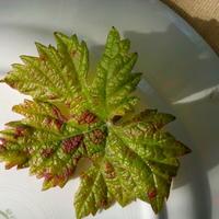 Что на листе винограда? Зудень?