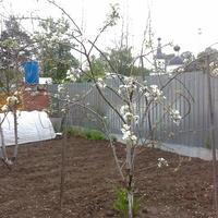 Подскажите, что с моими плодовыми деревьями? Чем им можно помочь?