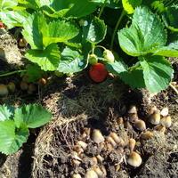 Как избавиться от поганок на грядке с клубникой? И можно ли есть ягоды с такой грядки?
