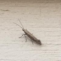 Что за насекомое завелось в газоне?