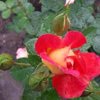 Подскажите сорт розы