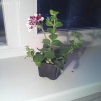 Помогите определить, какой это цветок?