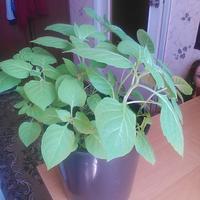 Помогите узнать, что это за растение?