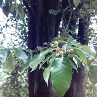 Подскажите, пожалуйста, название дерева