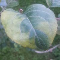 Листья яблони начали светлеть от краев к центру. Это болезнь или не хватает чего-то?