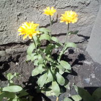 Сколько цветет календула и сколько цветочков в одном кустике?