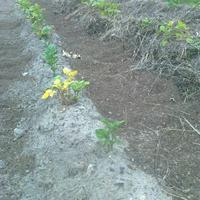 После окучивания картофель замедляет рост и желтеет. Почему так и что делать?