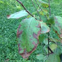 На молодой яблоне по краям буреют листья, теперь опадают. Что это за болезнь и как с ней бороться?