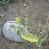 Листья у магнолии желтеют и сохнут, что делать?