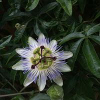 Скажите, пожалуйста, название цветка