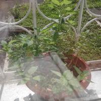 Как выращивать мяту в домашних условиях (в горшке)?