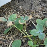 На нижних листьях земляники появляется коричневая кайма, и лист засыхает. Что случилось?