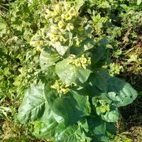 Что за растение растет в огороде?