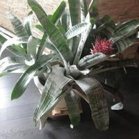 Помогите определить, что это за цветок и как за ним ухаживать в домашних условиях