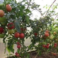 """Конкурс самый крупный помидорный куст из серии """"Золотое малиновое чудо"""""""