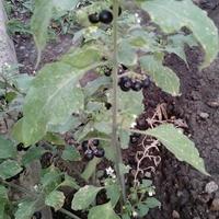 Что это за куст с черными ягодами?