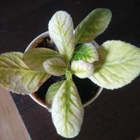 Почему у глоксинии белеют листья?