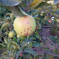 Яблоко в крапинку, как будто прокусило насекомое. Что это?