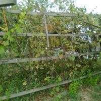 На кусте кишмиша все кисти высохли. Лозы сбросили листья и покрылись бурыми пятнами. Что это за болезнь? Что можно сделать?