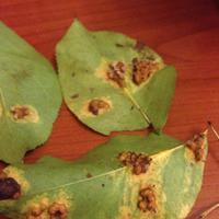 Что это за болезнь груши? Чем обработать деревья и когда?