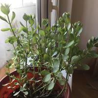 Как называется это комнатное растение и как его правильно поливать?