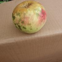 Почему на яблоках во второй половине лета появляются пятна, как-будто капли грязи?