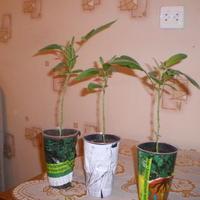 Выращивание Пепино Консуэло в домашних условиях