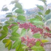 Помогите определить название растения. Облепиха ли это?