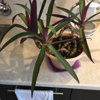 Помогите определить название растения. Можно ли его укоренить?