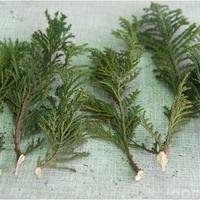 Возможно ли размножение уличных хвойных растений черенками или отростками?