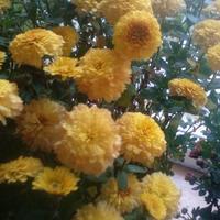Как черенковать хризантему мультифлора?