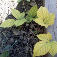 Листья ежевики желтые с зелеными прожилками, растет вяло. В чем может быть проблема?