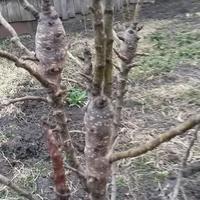 Почему не растет саженец колоновидной яблони?