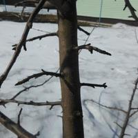 Нужно ли удалять на яблоне побеги, которые идут от ствола под углом 90 градусов?