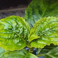Почему листья молодой гортензии деформируются?