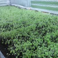 Почему не растет салат?