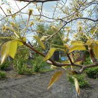 Почему у груши отсутствует прирост, а листья мелкие и желтые?