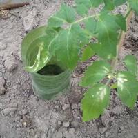 Помогите спасти рассаду помидоров!