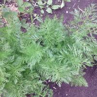 Подскажите, что за растение выросло у меня на огороде?