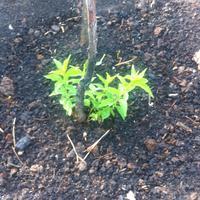 На сливе отсутствуют листья после зимы, но появилась поросль в нижней части ствола. Как поступить?