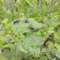 Подскажите, что это за жуки? Помогите определить заболевание томатов