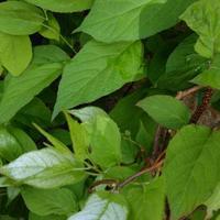 Листья у актинидии сентябрьской покрываются белым налетом. Что это и как с этим бороться?