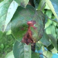 Помогите определить заболевание колоновидных яблонь