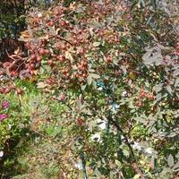 Можно ли употреблять в пищу плоды шиповника с сизыми листьями?