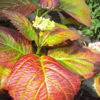 Что случилось с листьями гортензии? Не погибнет ли она совсем?
