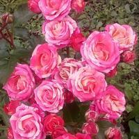 Подскажите название розы