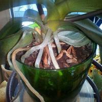 Гибнет орхидея. Помогите спасти