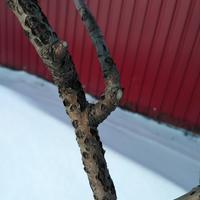 Что это за повреждения коры на яблоне?