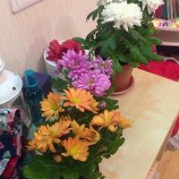 Помогите спасти хризантемы в горшках